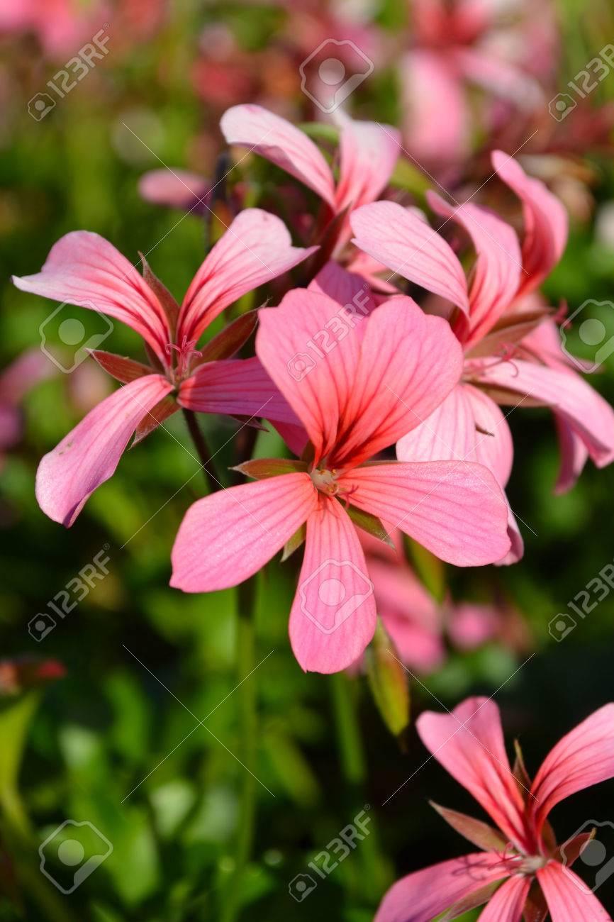 Cranesbill flowers geranium flowers photo geranium photo cranesbill flowers geranium flowers photo geranium photo cranesbill image cranesbill image izmirmasajfo