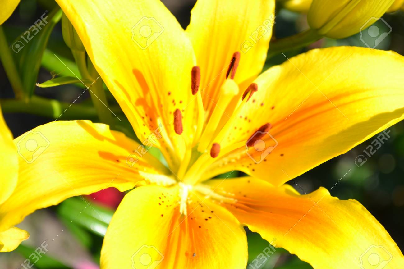 Lily Flower Lily Plant Summer Flower Beautiful Flower Delicate