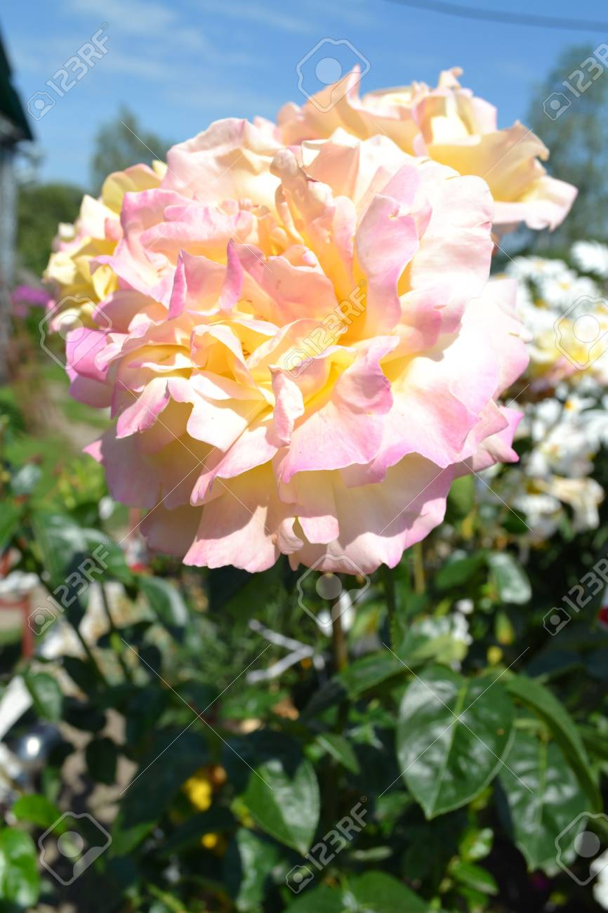 Roses flowers photo roses white petals beautiful plant summer roses flowers photo roses white petals beautiful plant summer flower herbal mightylinksfo