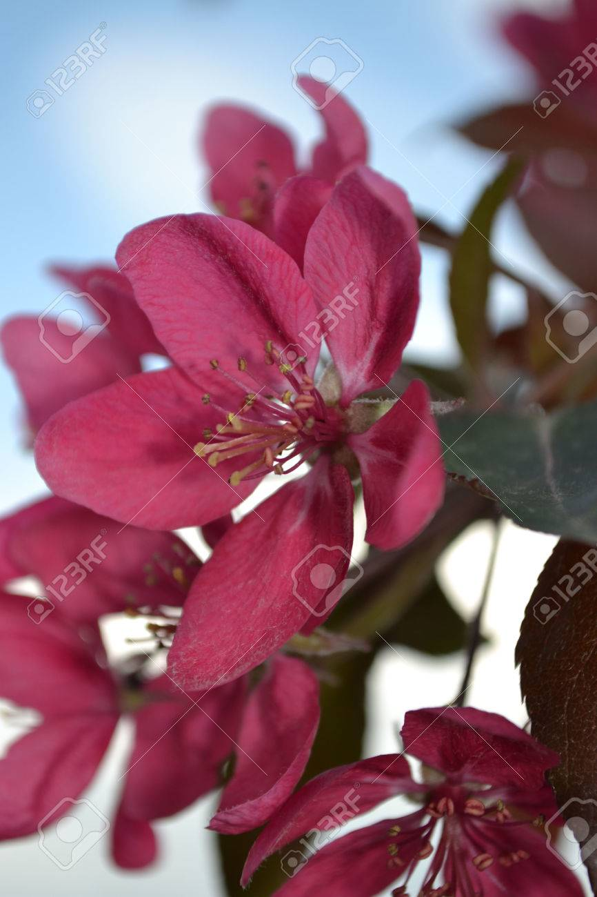 Flowers Of Apple Apple Blossoms Red Flowers Bees Pollinatebeautiful ...