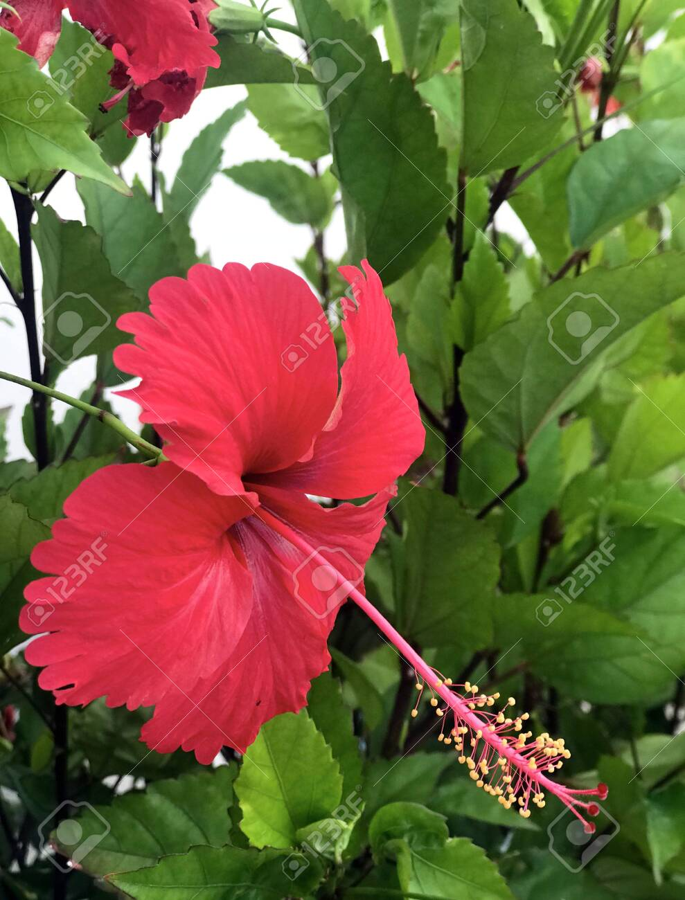 Large Red Hibiscus Flower Hibiscus On A Background Of Green Leaves Stock Photo Picture And Royalty Free Image Image 123846694