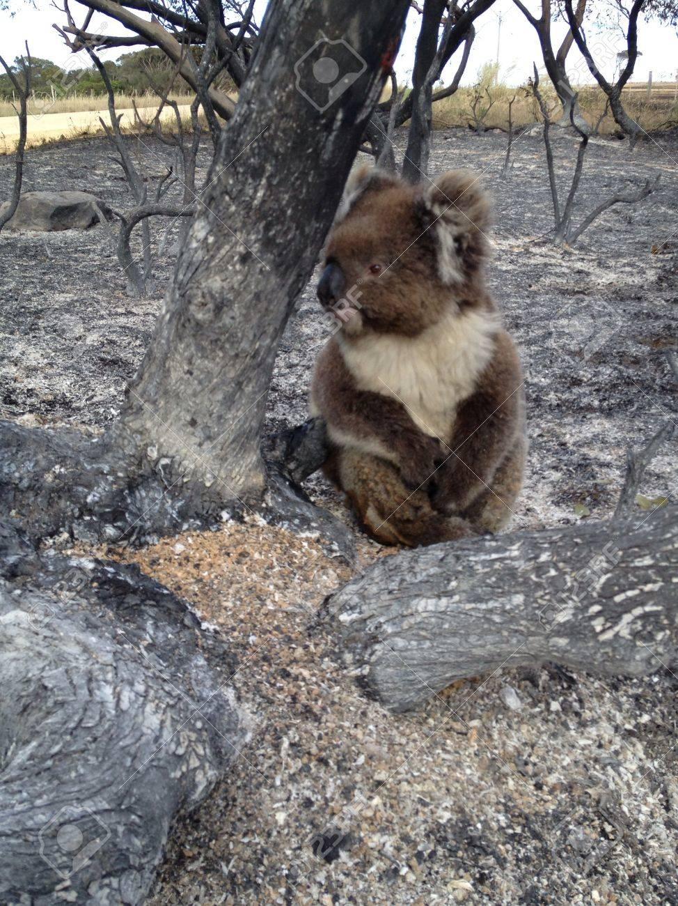 山火事でラッキー コアラ