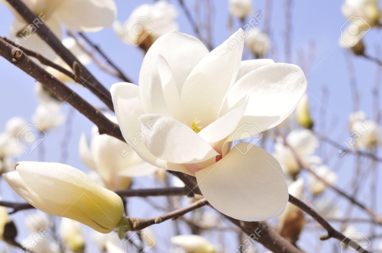 Yulan Scientific Name Magnolia Denudata Alias Magnolia Hope