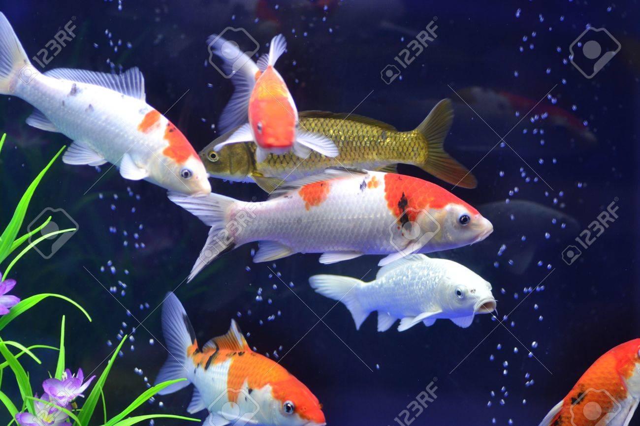 goldfish Stock Photo - 18045200