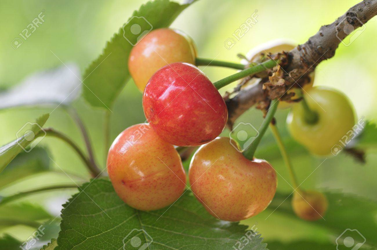large cherry in the north is deciduous fruit tree trunk china, Beautiful flower