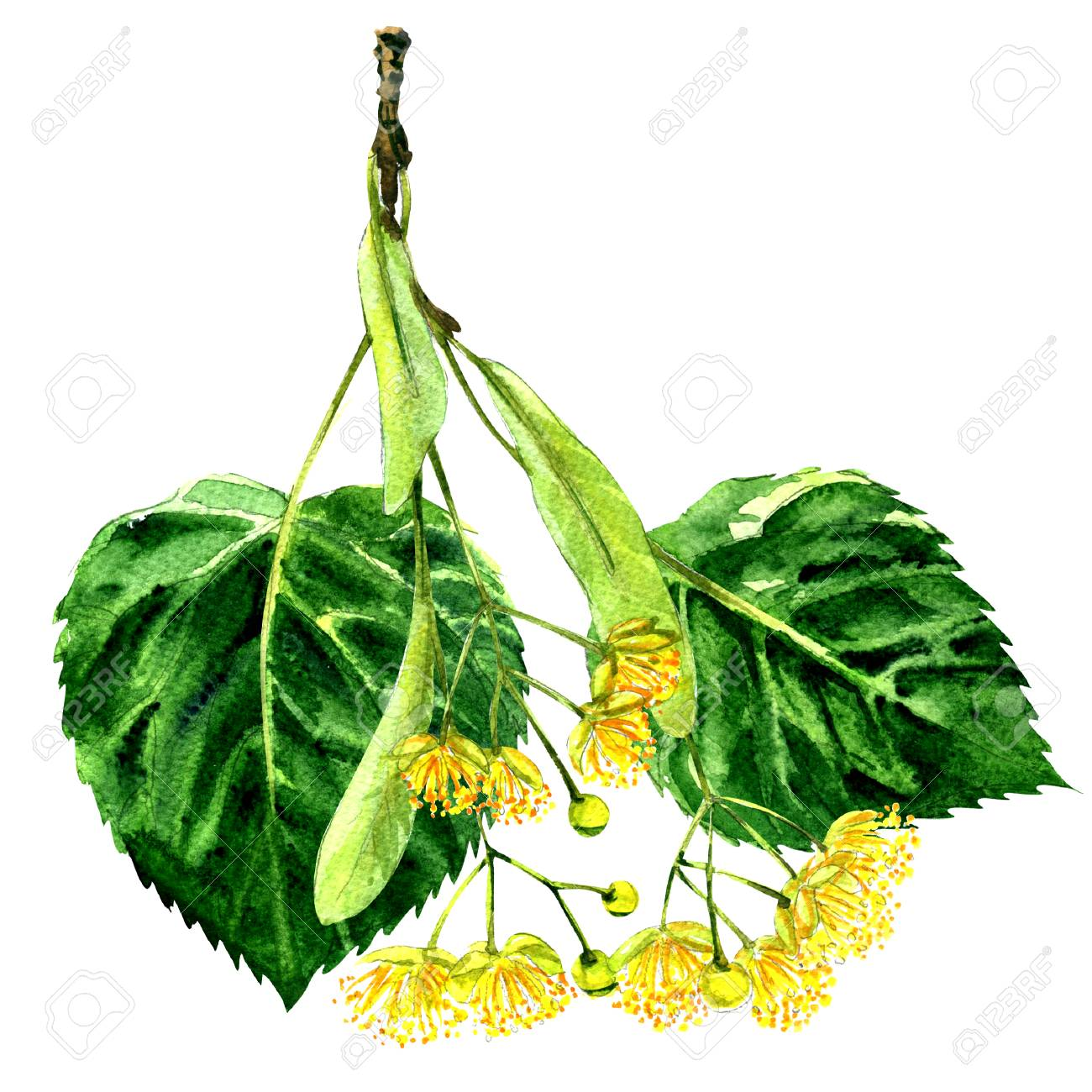 Fresh flower and leaf of linden branch isolated, watercolor illustration on white background - 69660823