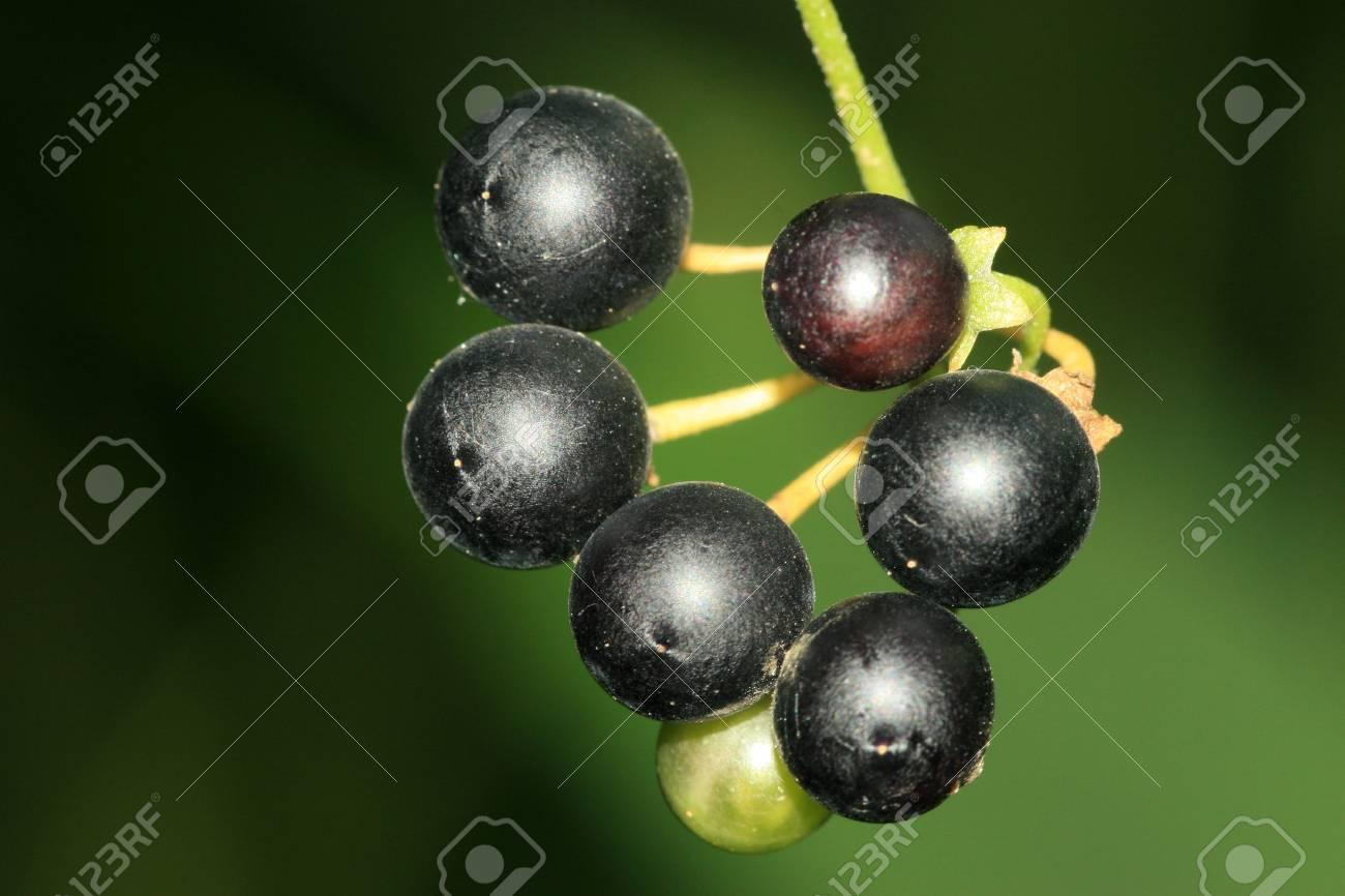 Solanum Nigrum Fruit Solanum Nigrum Photo