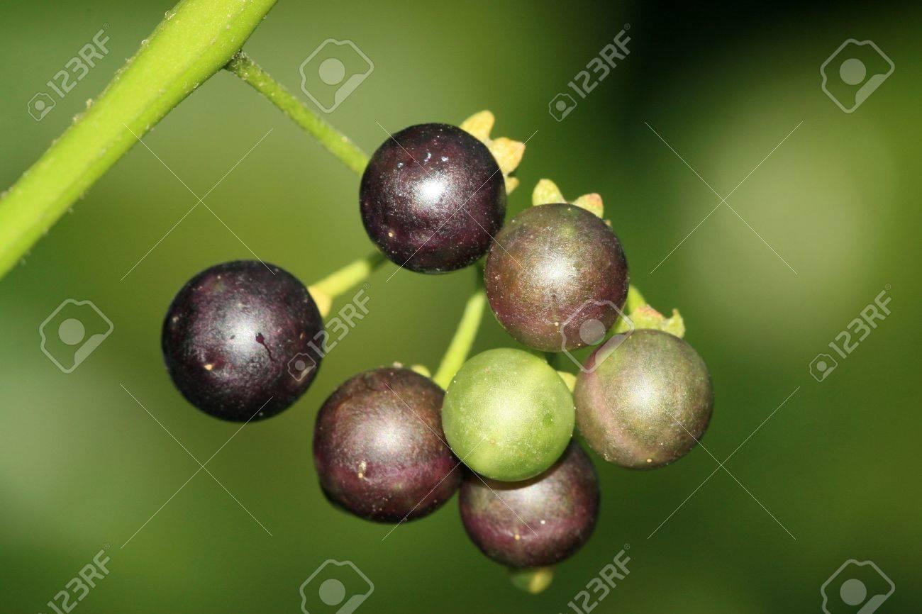 Solanum Nigrum Fruit Stock Photo Solanum Nigrum