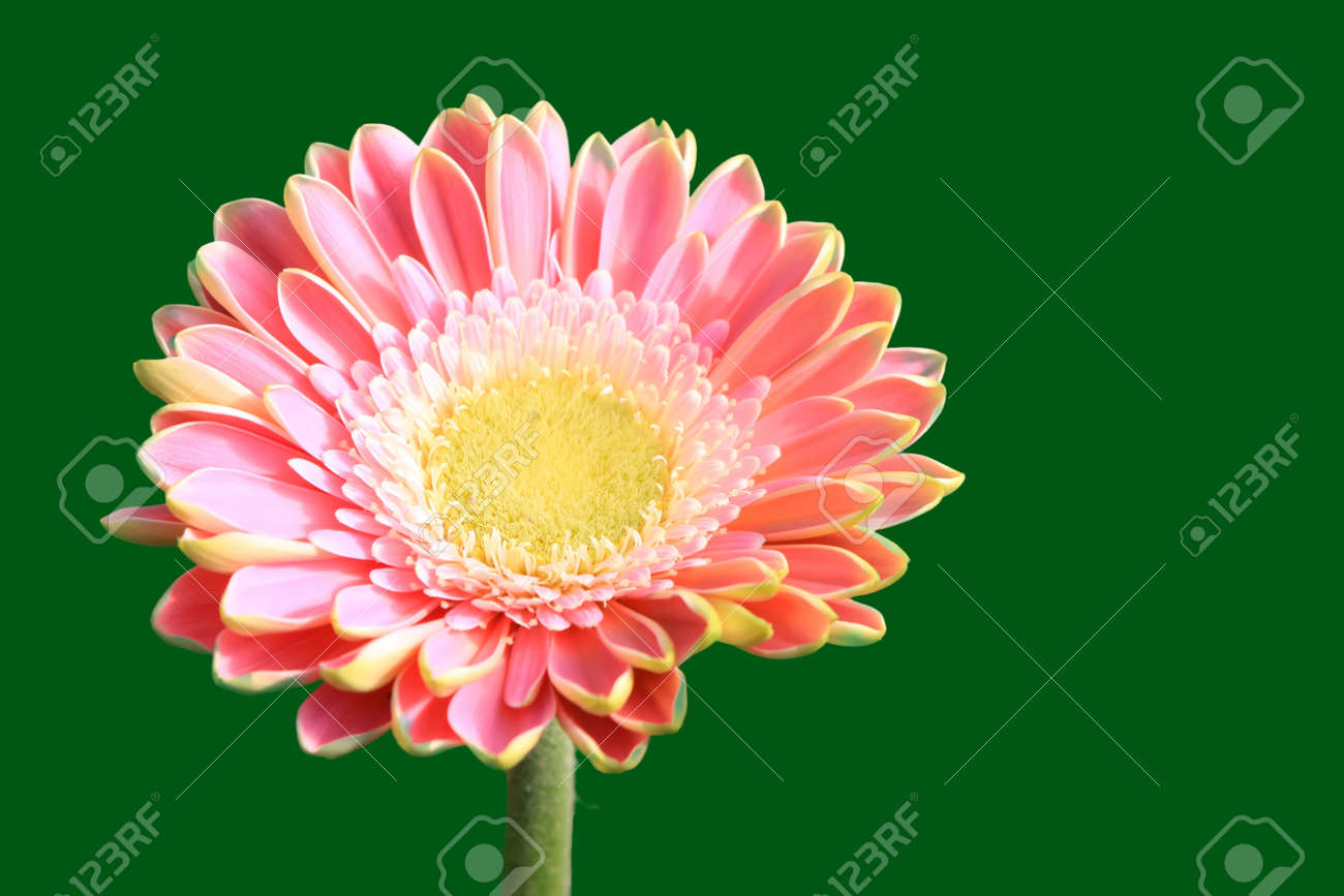 close up of gerbera flowers on a simple color background. Stock Photo - 7132671