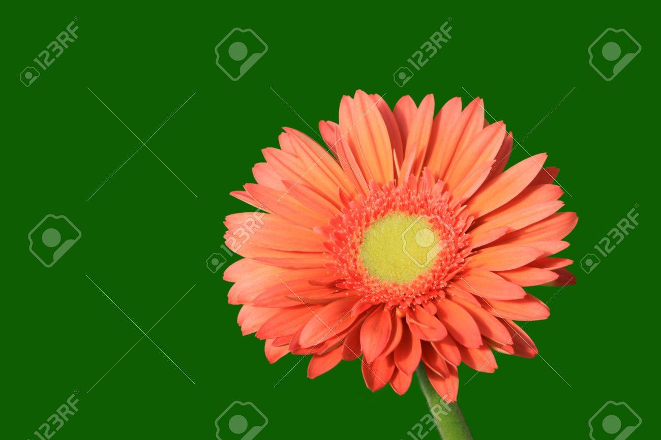 close up of gerbera flowers on a simple color background. Stock Photo - 7132654