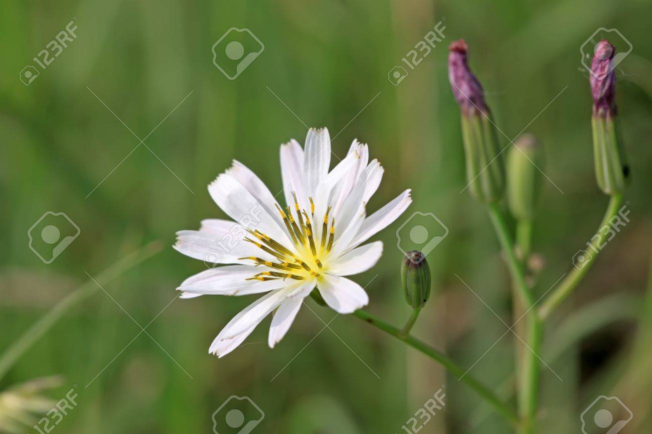 close up of a kind of plant, which named lactuca indica, with beautiful flowers. Stock Photo - 7240065