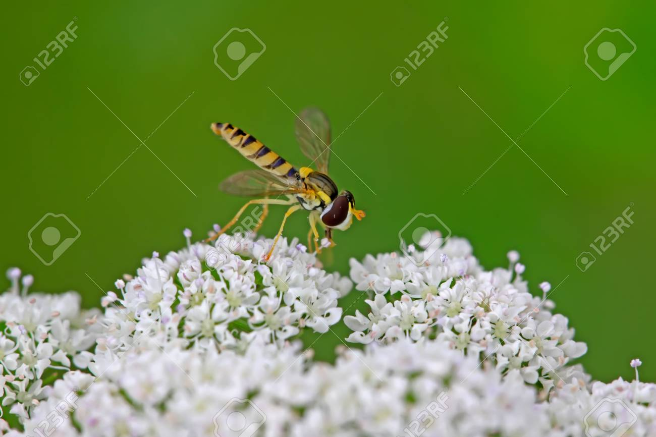a kind of insects named syrphidae on a green leaf, photographs of natural wild state, Luannan County, Hebei Province, China. Stock Photo - 7294035