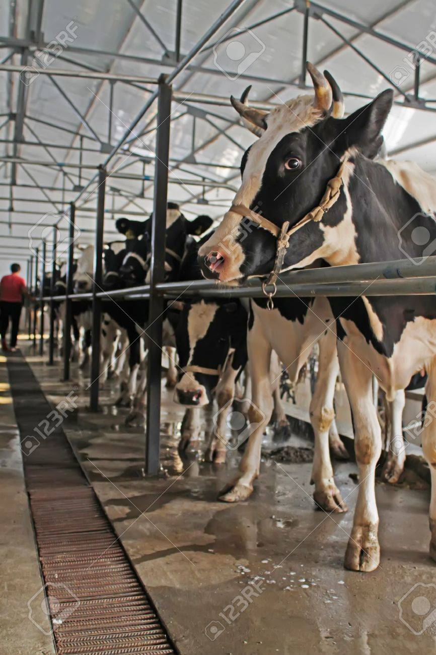 dairy cows in the milking parlor, in the rural of Luannan, Hebei