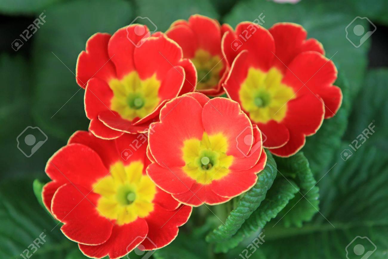 close up of primrose flowers, in a botanical garden, Qinhuangdao City Stock Photo - 7528735
