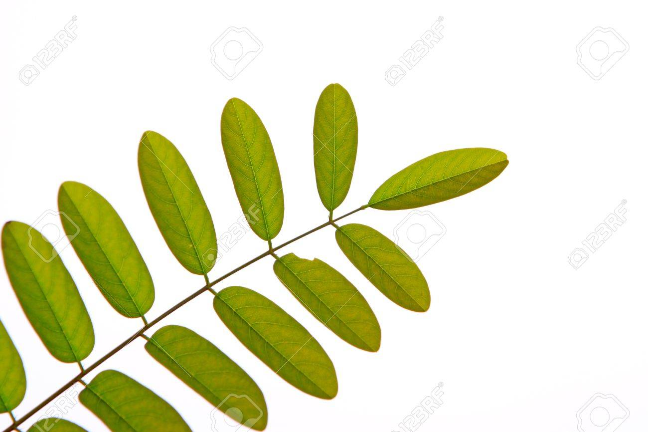 Multi Pinnate Compound Leaf Green Pinnately Compound Leaf