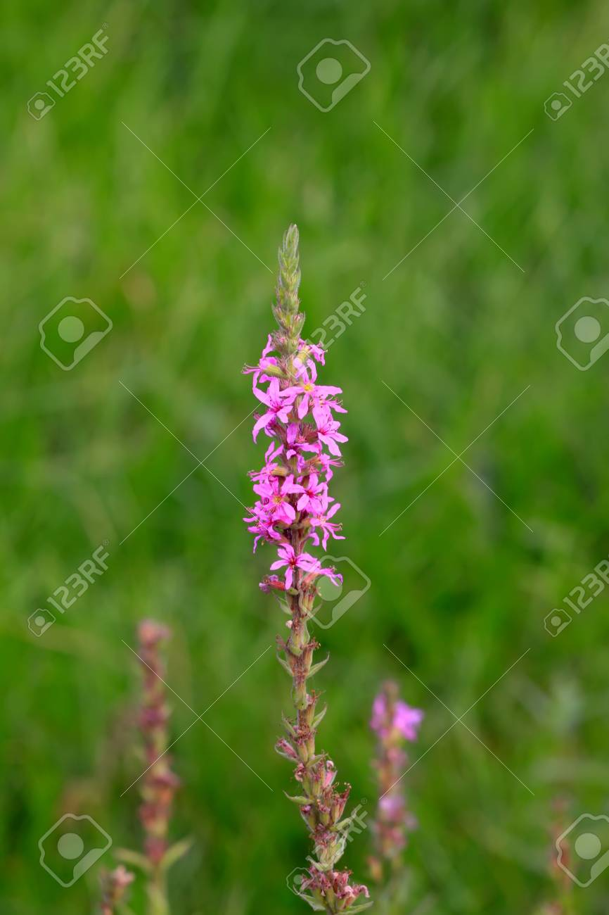 lythrum salicaria flowers in full bloom, very beautiful plants, not only can watch them, can also be used as food and herbal medicines. Luannan County in Hebei Province, China. Stock Photo - 8819895