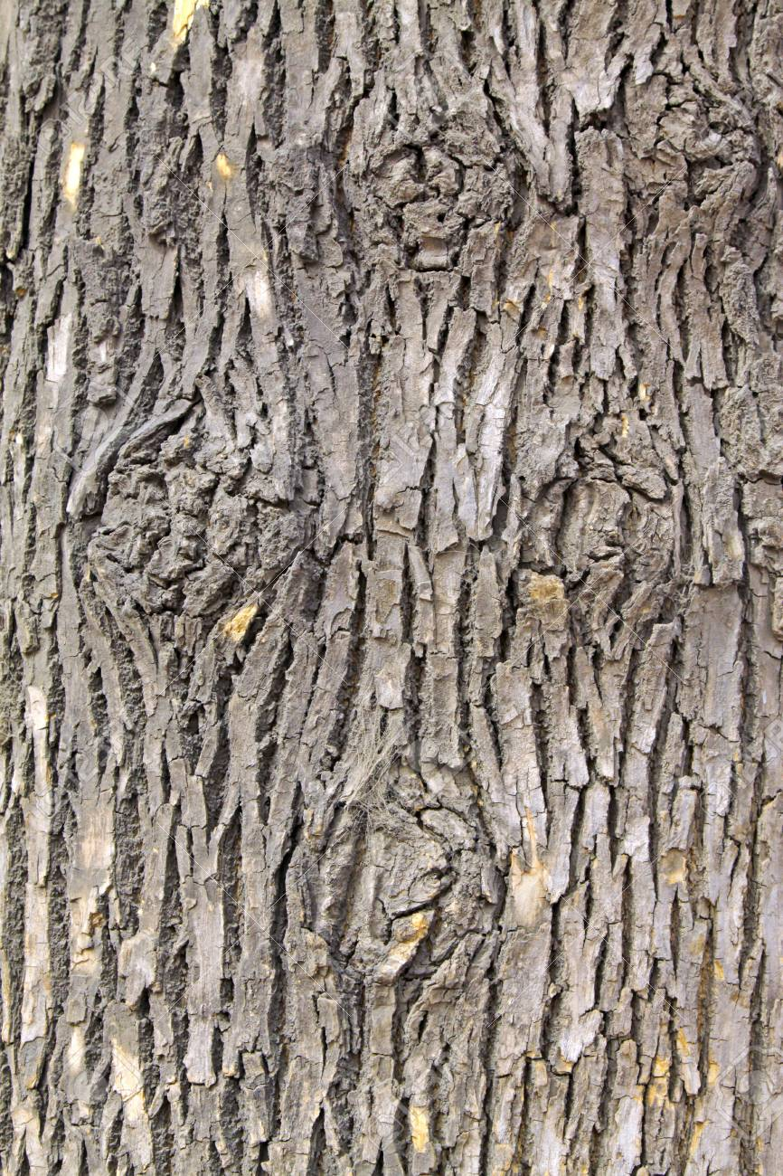 closeup of scholartree bark Stock Photo - 9309618