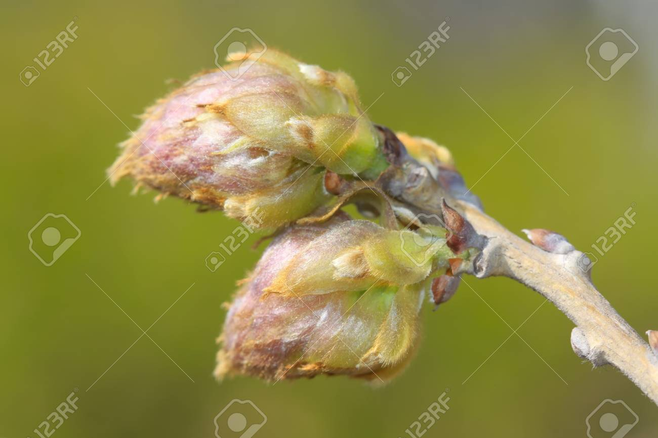Wisteria Flowers Bud In A Garden Stock Photo Picture And Royalty