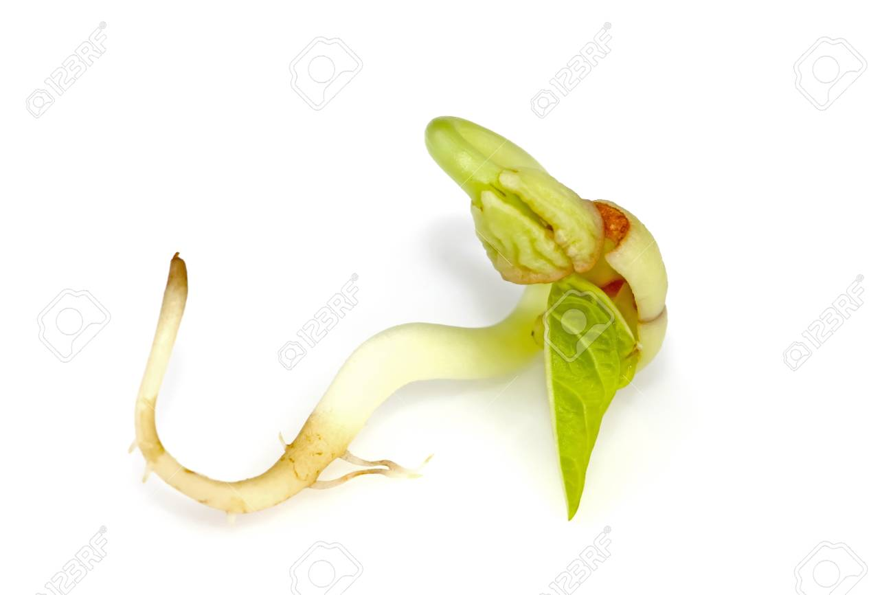 closeup of sprouts in white background. Stock Photo - 11424611