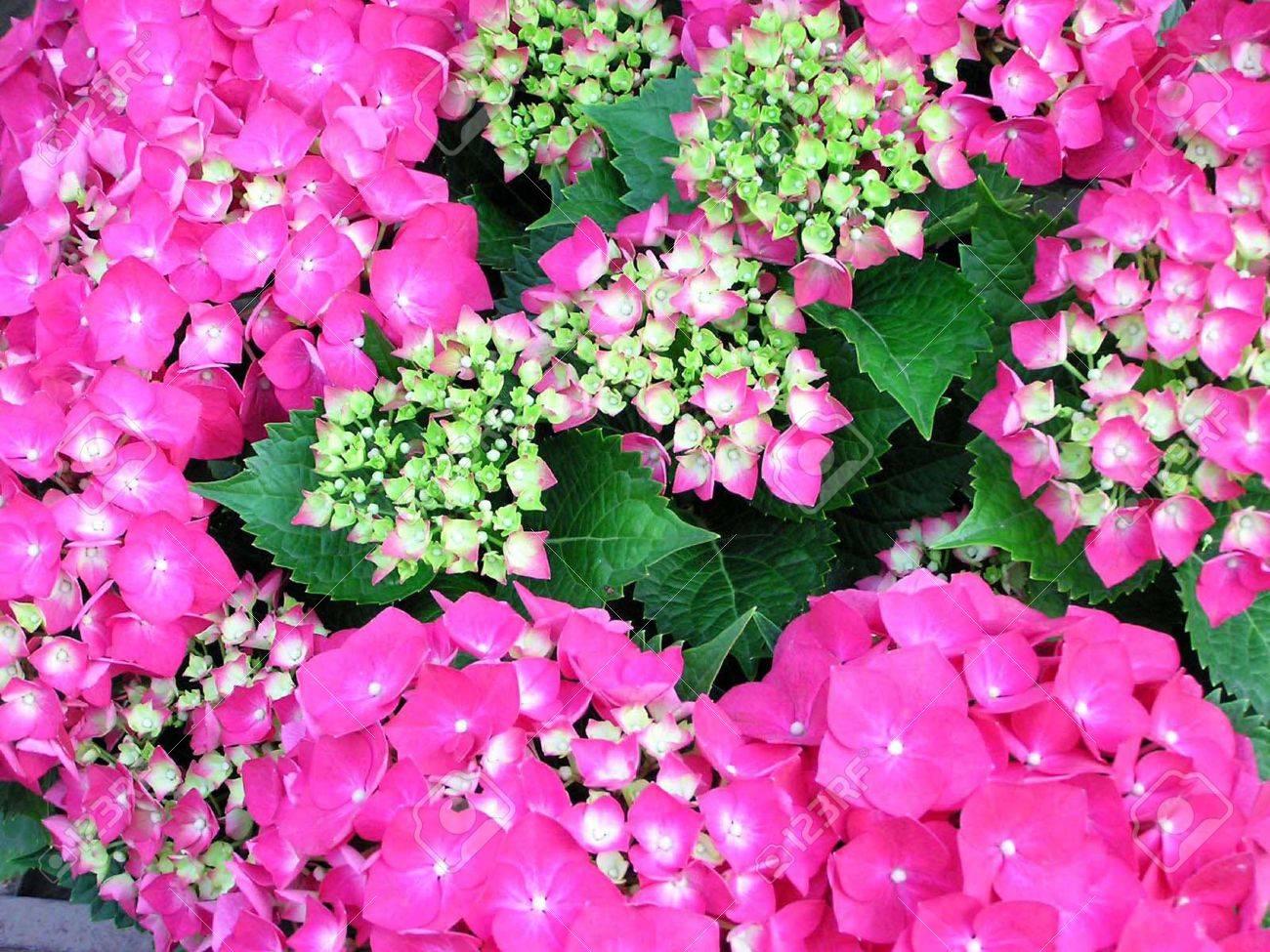 Come Far Fiorire Le Ortensie grandi fiori foglia ortensia in piena fioritura, close up di immagini,  rosso, molto bella, può fare piante verdi, può essere in vaso, foto  scattata