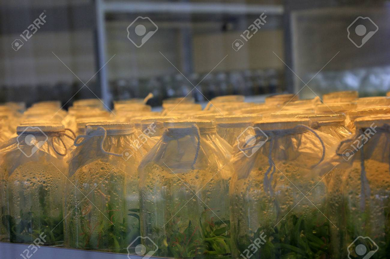 Tissue culture flowers in sterile room, closeup of photo