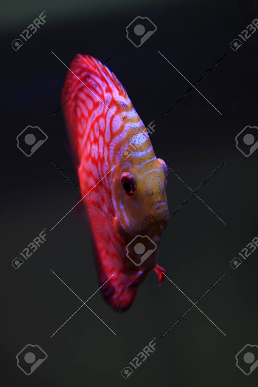 Beautiful Tropical Fish - 7 Color Angelfish Stock Photo, Picture And ...