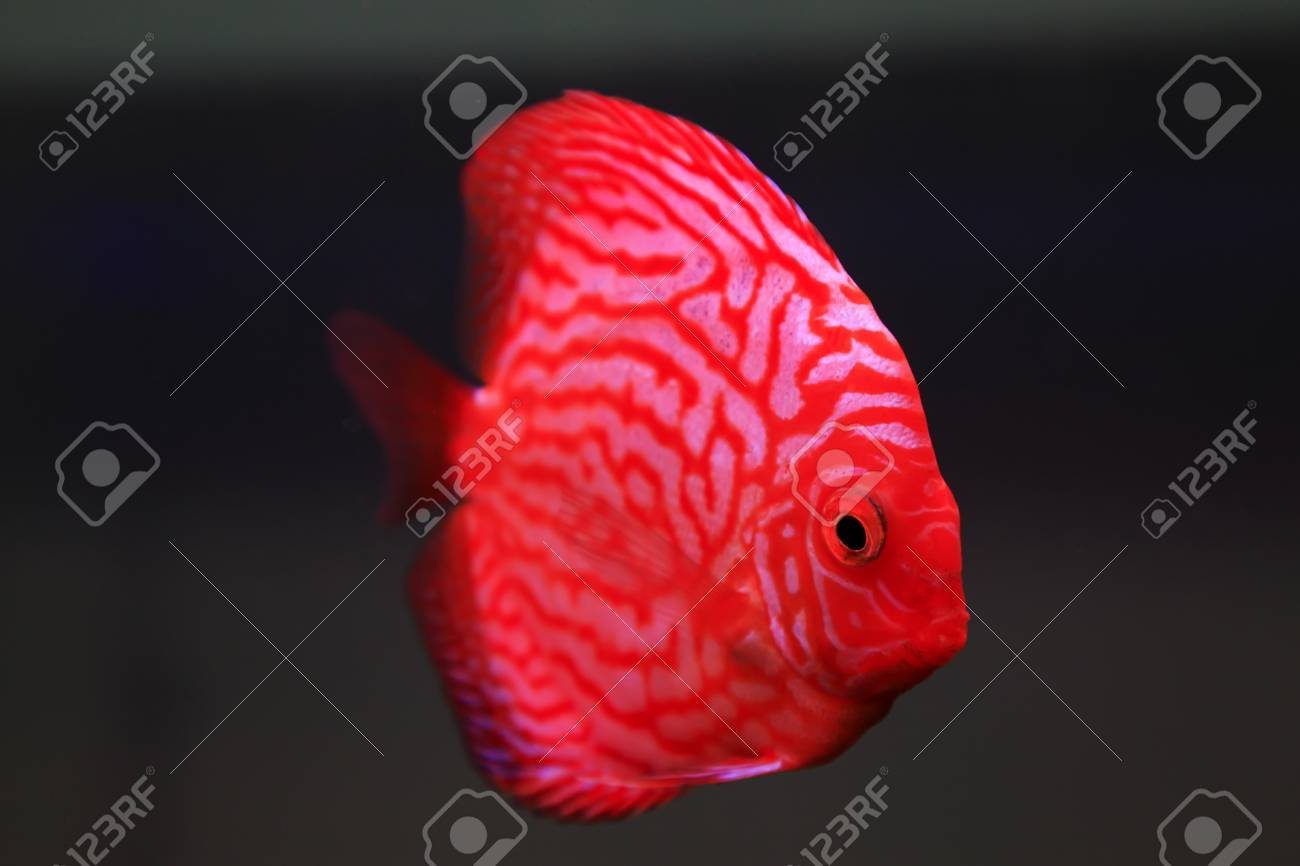 Tropical Fish - 7 Color Angelfish Stock Photo, Picture And Royalty ...