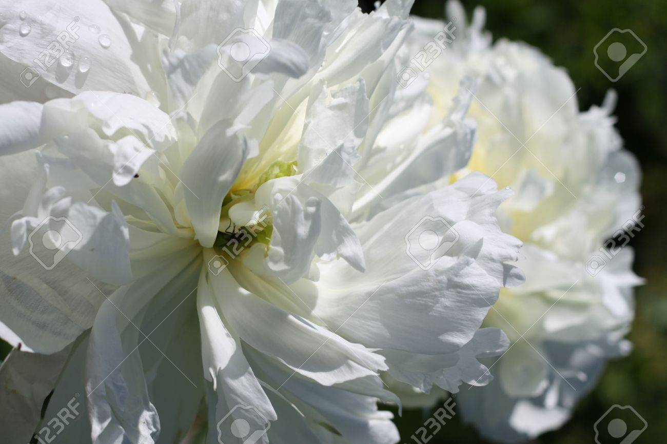 Big white flowers in a summer garden stock photo picture and big white flowers in a summer garden stock photo 5260968 mightylinksfo