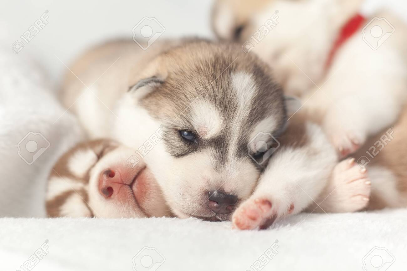 Playful Siberian Husky Puppies 1 Month Stock Photo Picture And Royalty Free Image Image 123512355