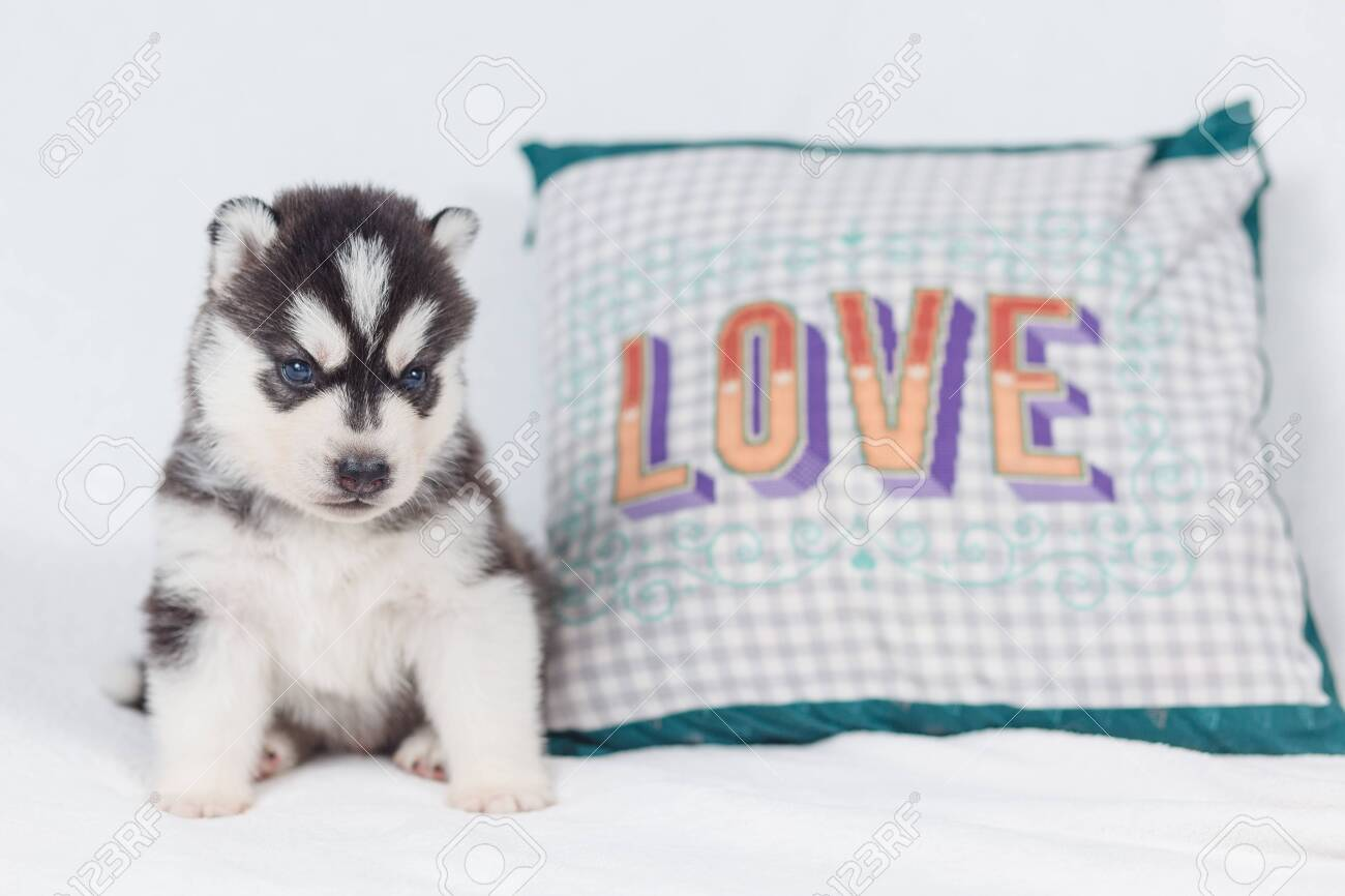 Cute Siberian Husky Puppy Beautiful Stock Photo Picture And Royalty Free Image Image 123512472