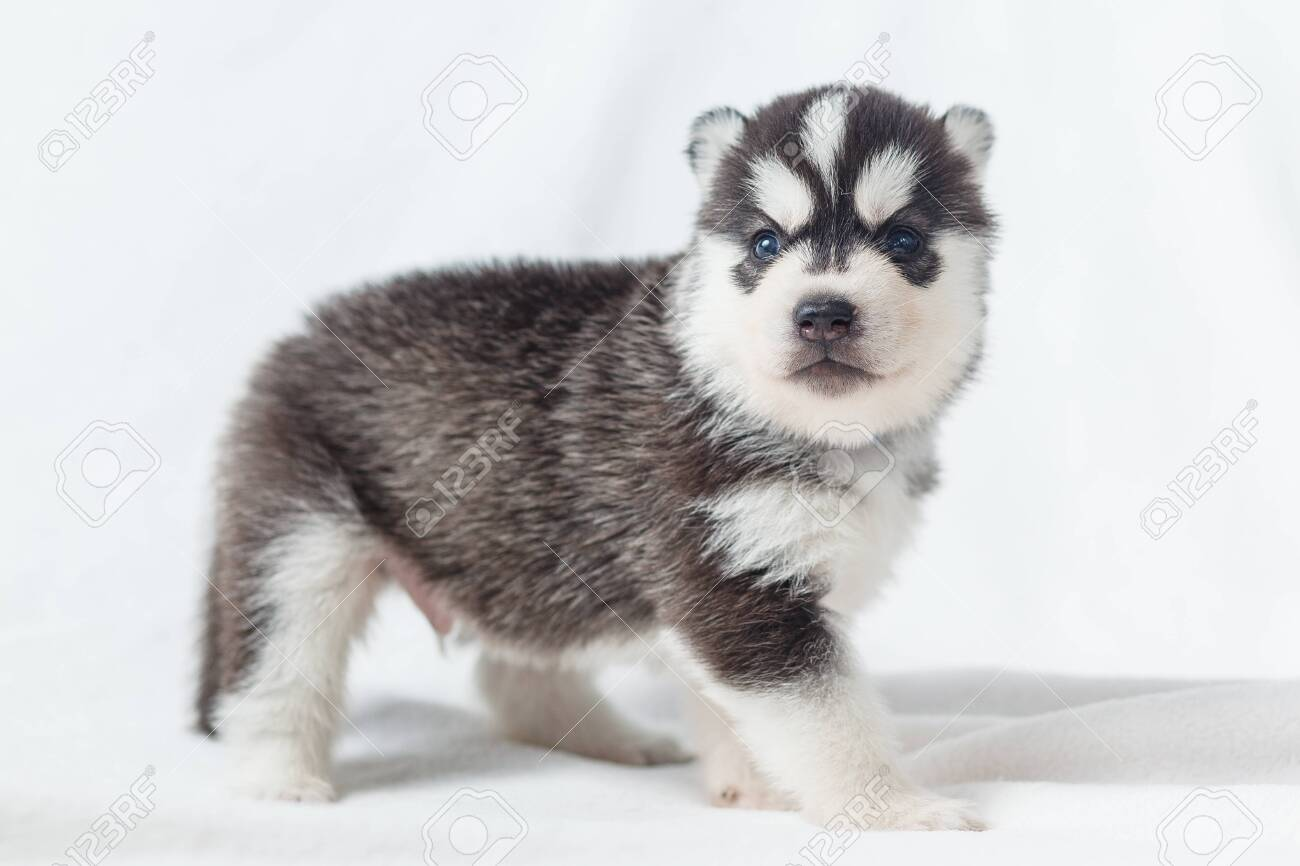 Playful Siberian Husky Puppies 1 Month Old Stock Photo Picture And Royalty Free Image Image 123510335
