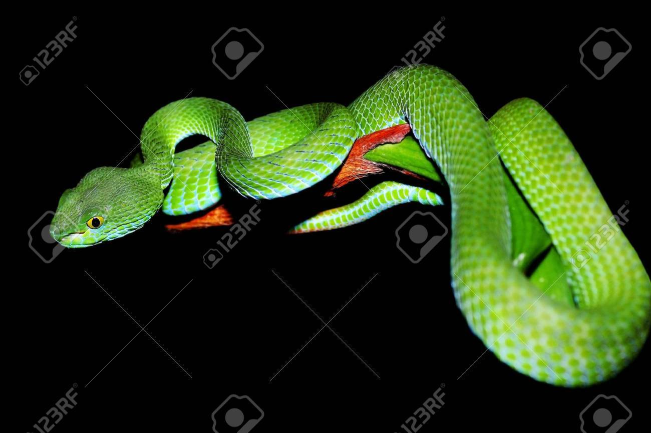 snake  green pit viper  in forest Stock Photo - 13692791