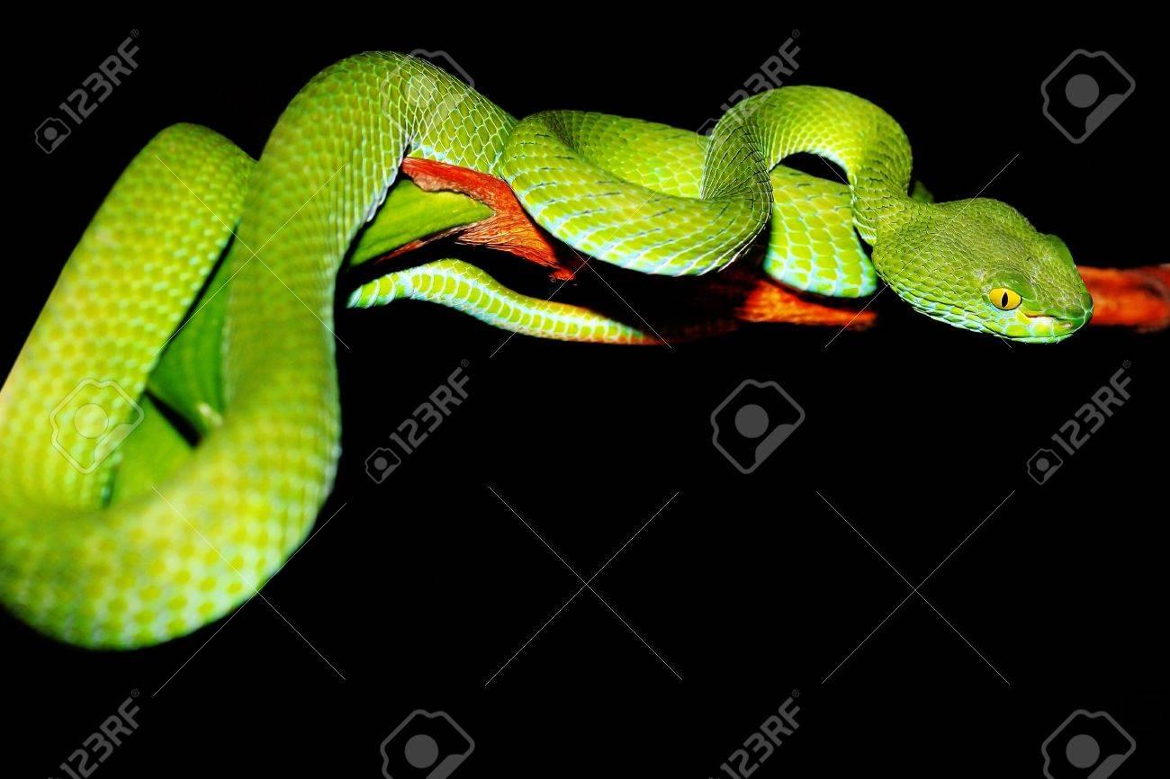 """Résultat de recherche d'images pour """"serpent vert"""""""