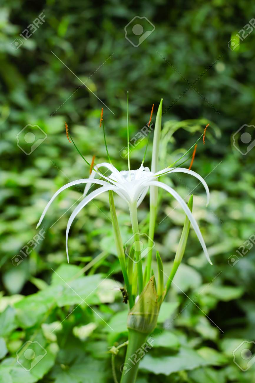 Spider lily flower blooming in white color stock photo picture and spider lily flower blooming in white color stock photo 82974433 izmirmasajfo