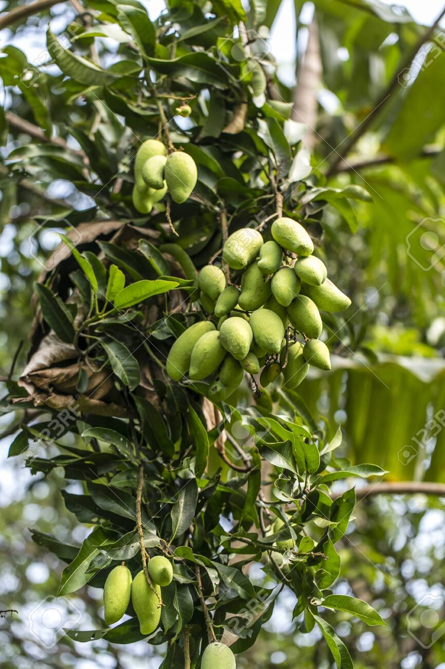 127037951 ripe alphonso mangos king of fruits on mango tree