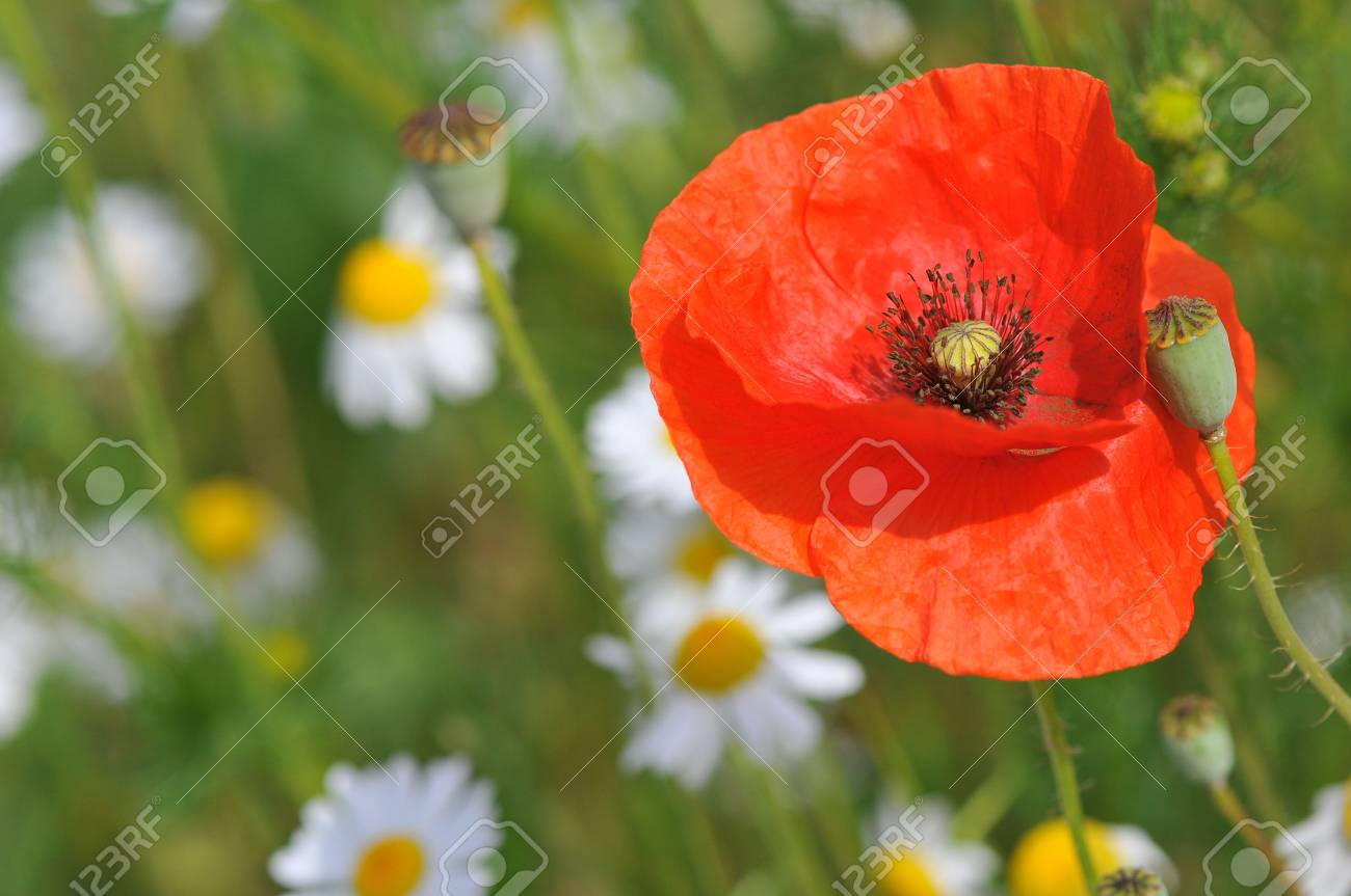 Poppy detail and daisy in a sunny day Stock Photo - 5397357