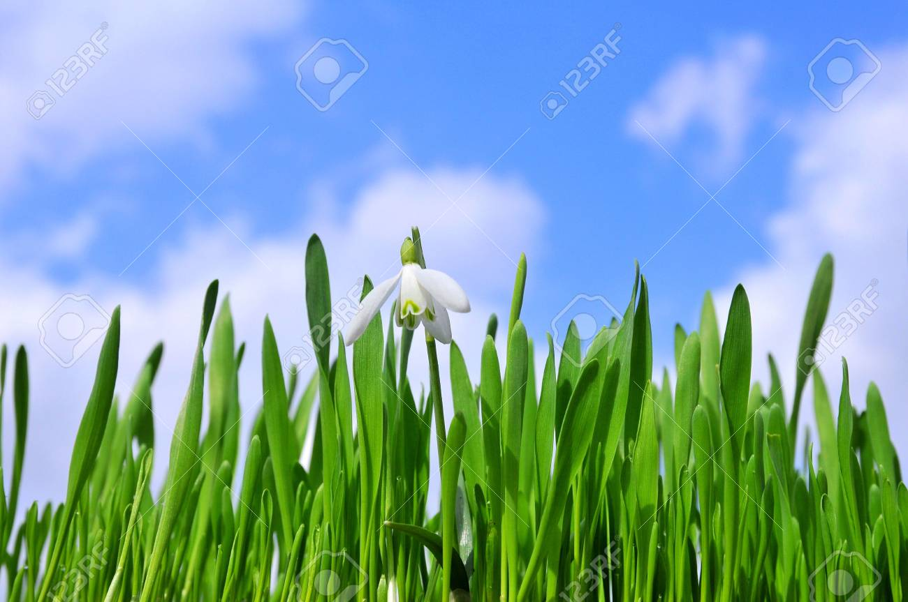Easter lush lawn with snowdrops Stock Photo - 6769902