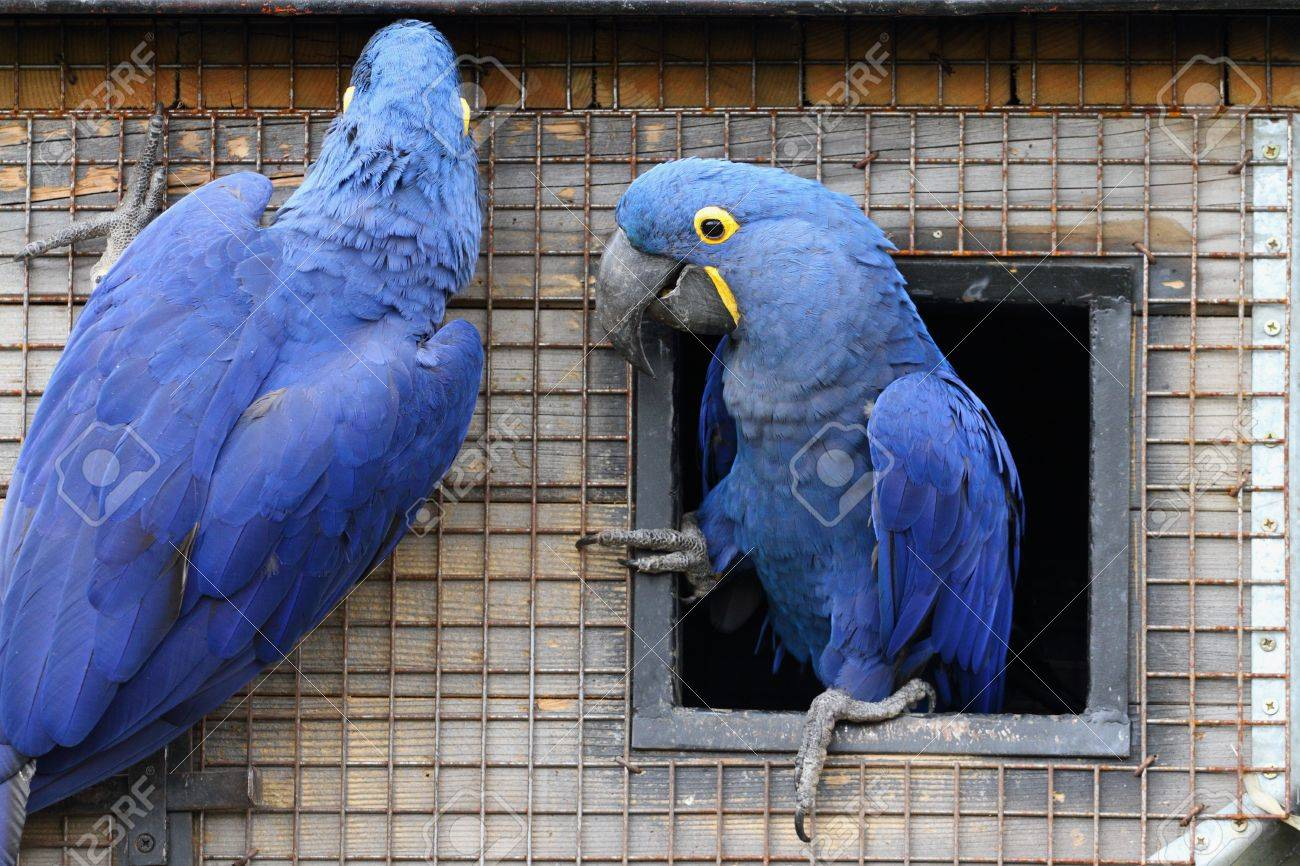 details of a couple of Hyacinth Macaw