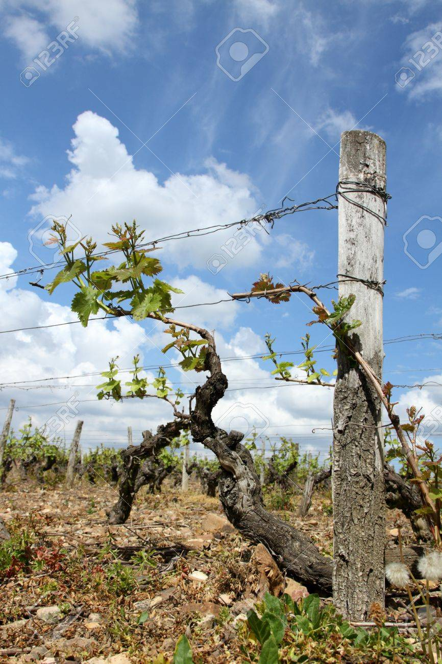 details of a vineyard from France Stock Photo - 9397627