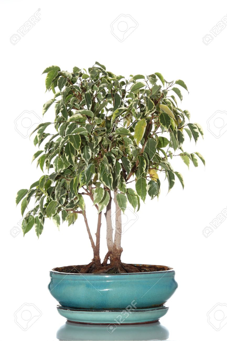 Details Of A Bonsai Tree Made With A Ficus Benjamina Isolated Stock Photo Picture And Royalty Free Image Image 15688043