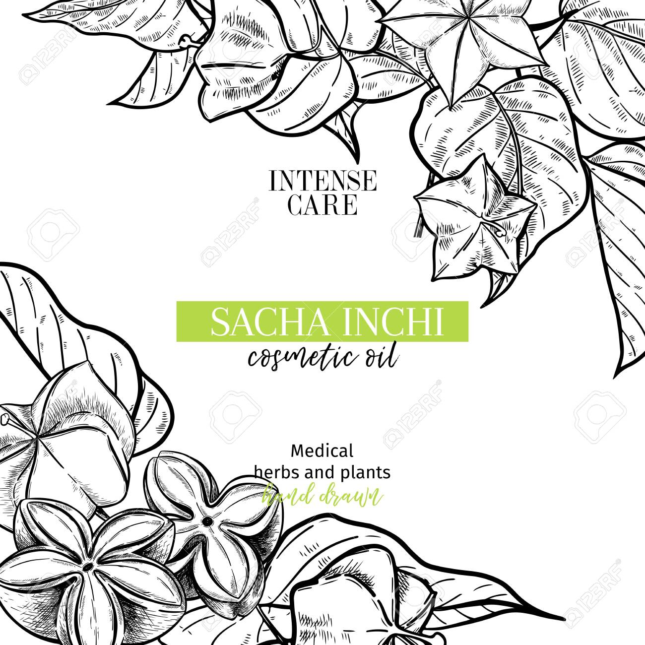 Hand Drawnsacha Inchi Branch And Fruits Engraved Vector Banner Royalty Free Cliparts Vectors And Stock Illustration Image 122127524