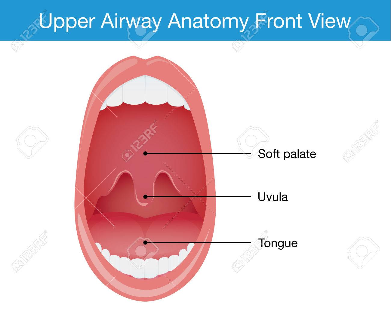 Upper Airway Human Anatomy Diagram In Top View. Royalty Free ...