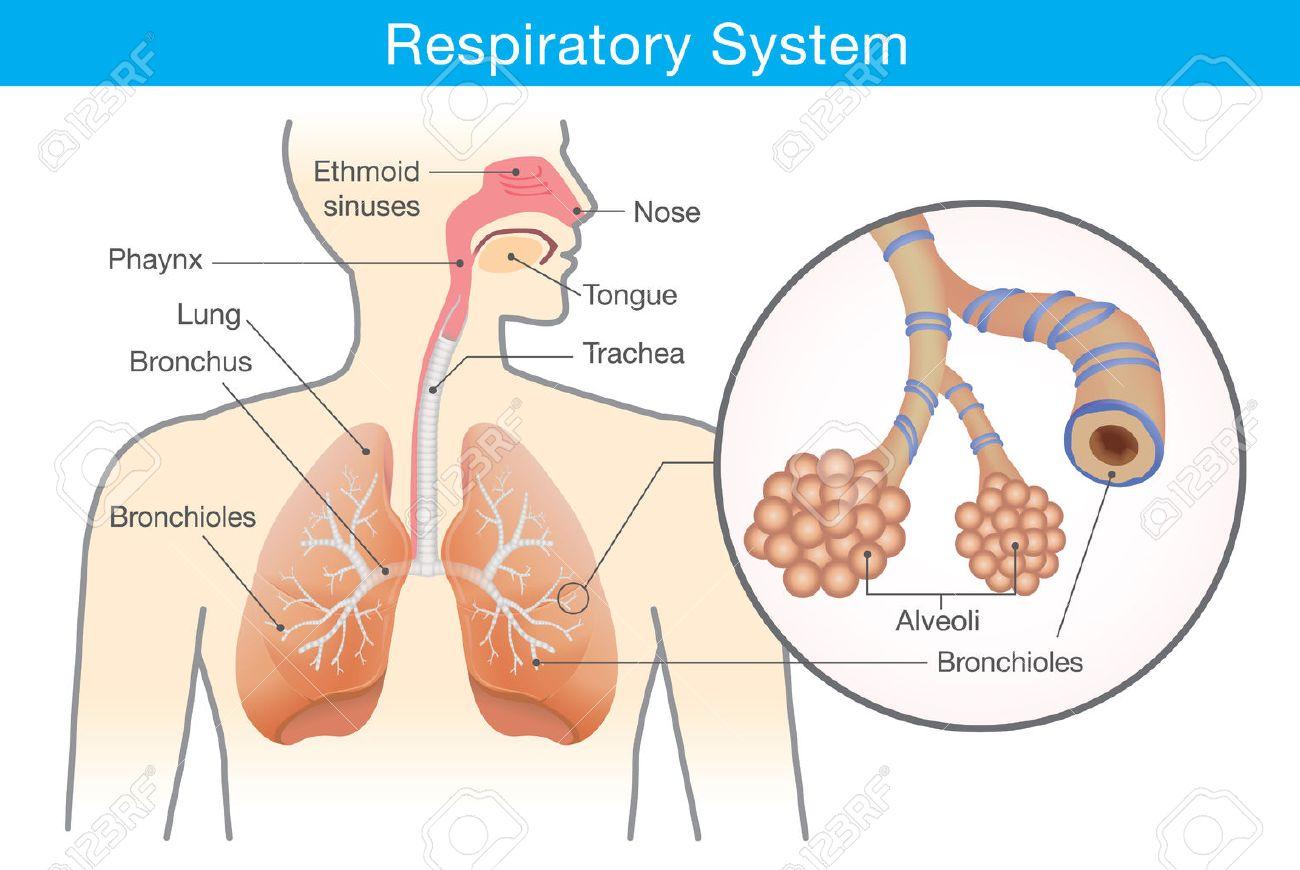 Sistema Respiratorio Del Ser Humano. Esta Ilustración De La Anatomía ...