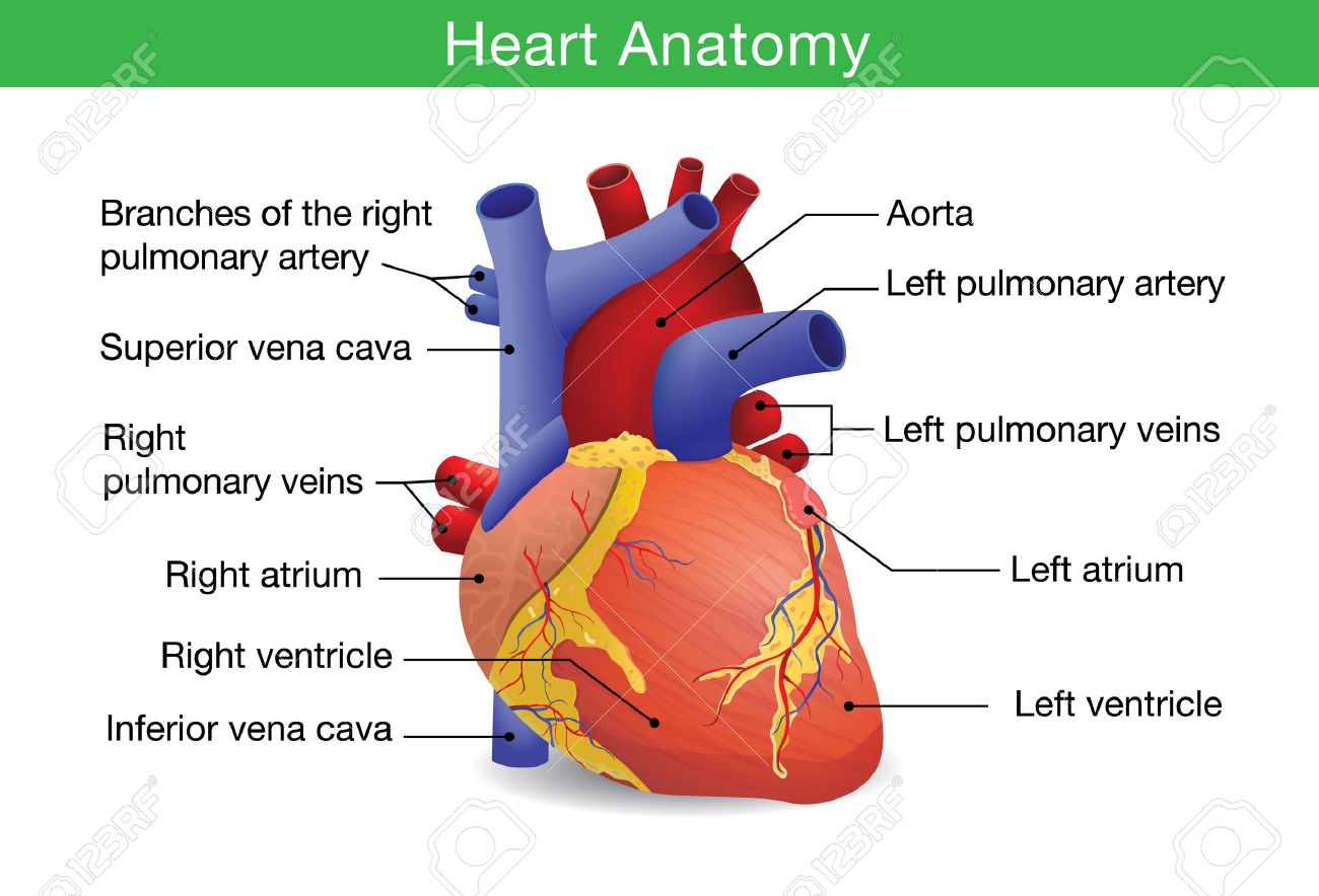 Human Heart Anatomy Isolated On White Background. This Illustration ...