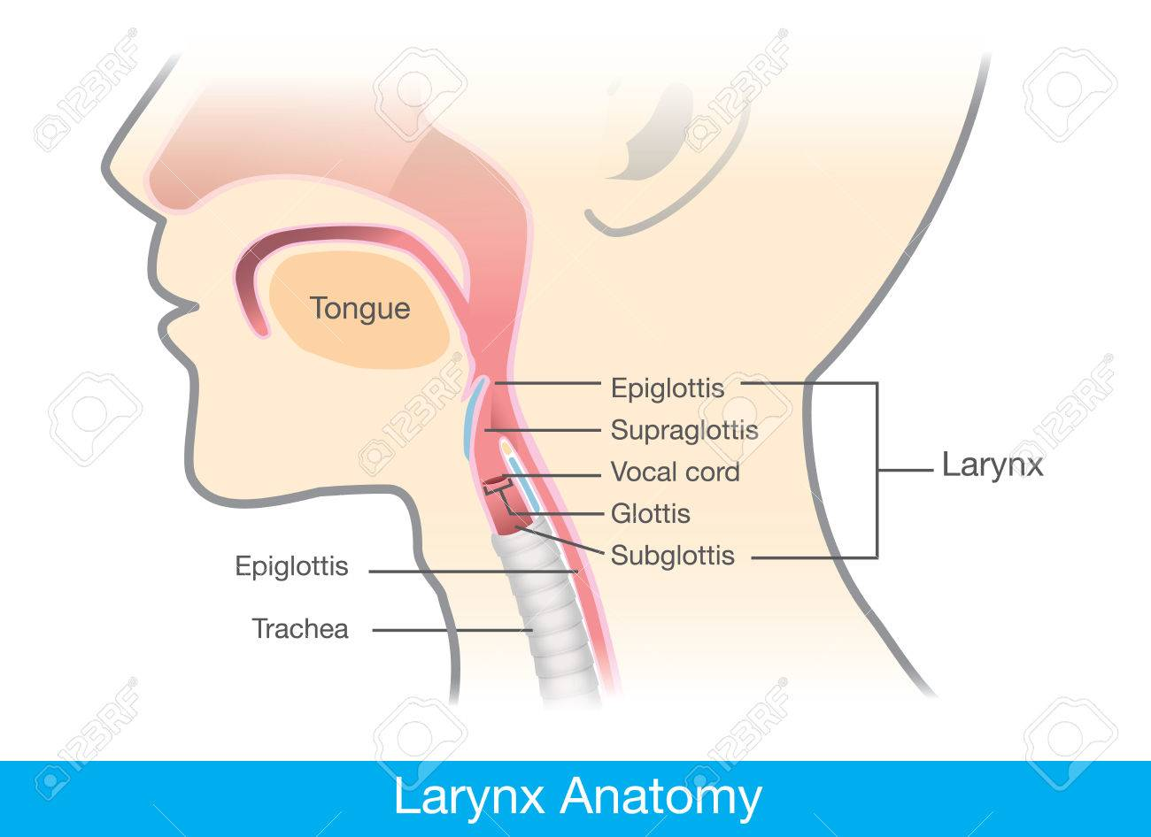 Human Larynx Anatomy. This Illustration Is Medical Diagram. Royalty ...
