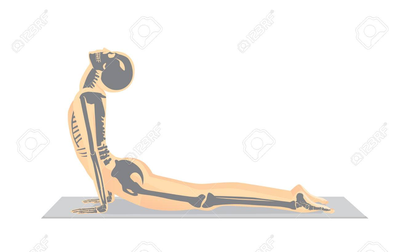 Human Bone Anatomy While Yoga Workout In Cobra Posture. This ...