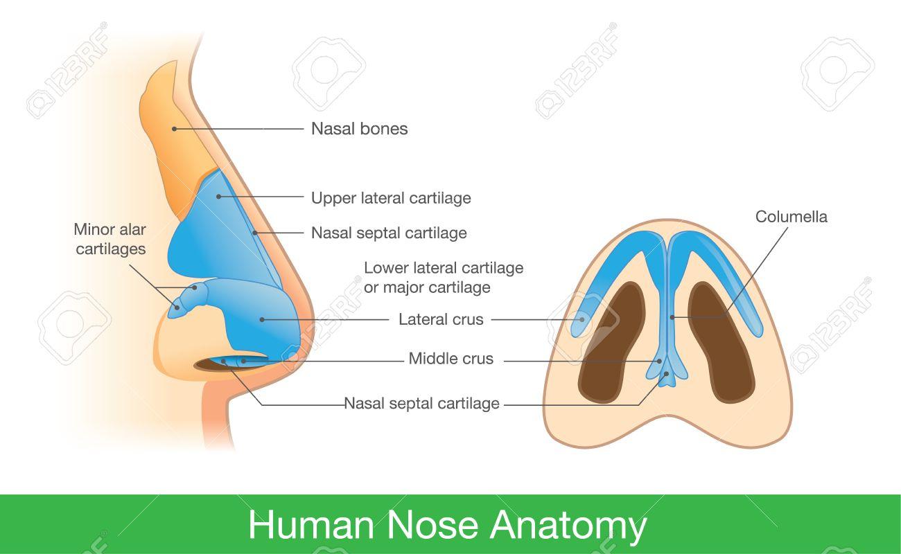 Anatomie Der Menschlichen Nase In Seitenansicht Und Unten. Abbildung ...