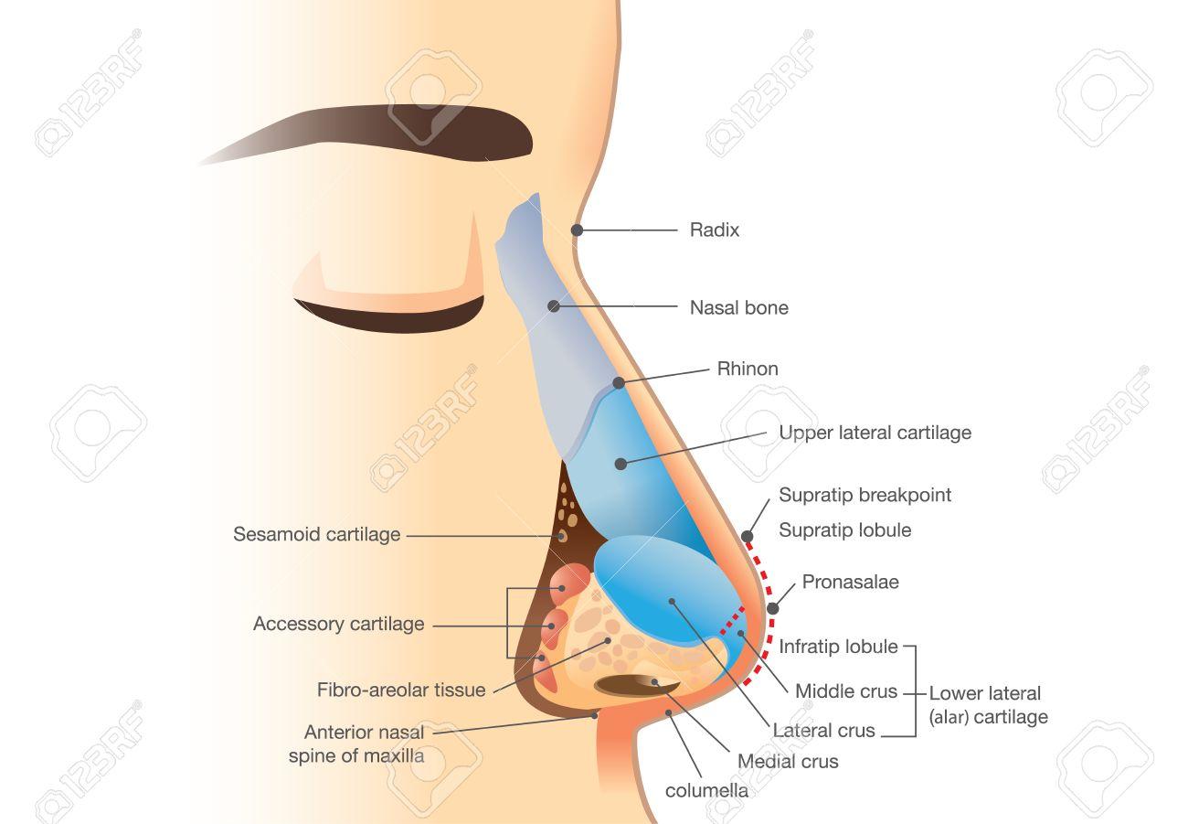 Anatomie Der Menschlichen Nase. Abbildung über Beschreibung Der ...