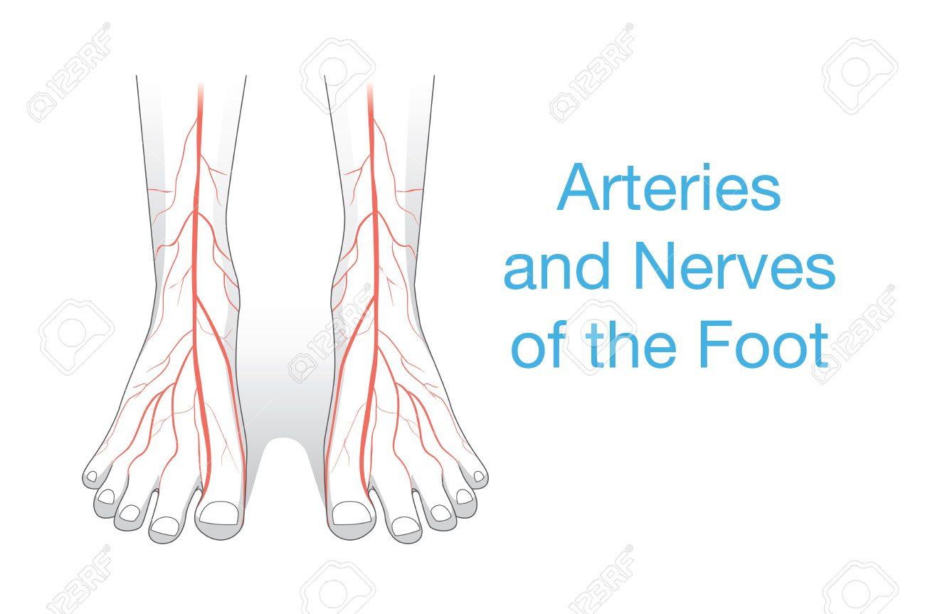 Arterien Und Nerven Des Fußes. Diese Abbildung über Innere Des ...