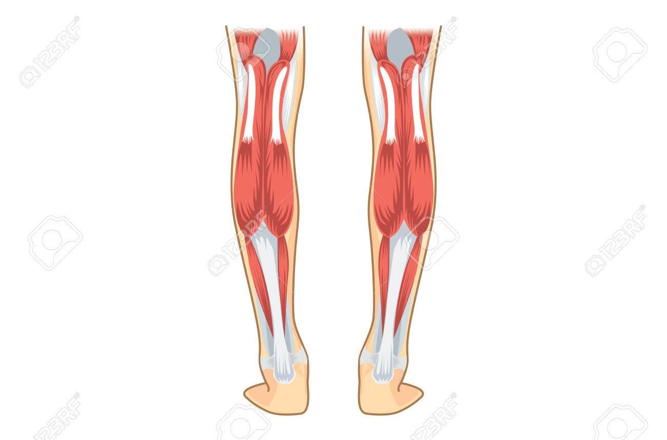 Kalb-Muskel Des Menschen. Illustration über Menschliches Bein ...
